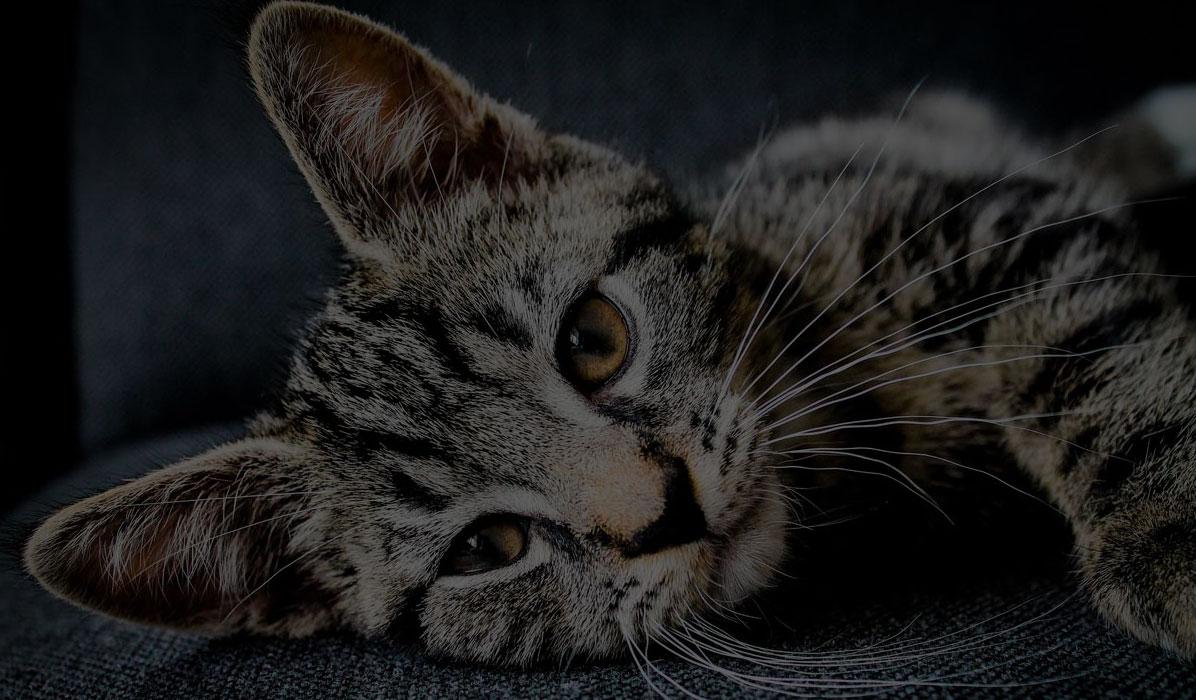 gato back
